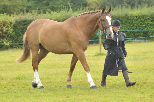 Irish Draught Horse Show 2011